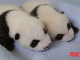 Panda twins growing up fast