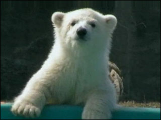 Polar bear cub makes debut at Buffalo Zoo