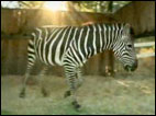Father buys daughter zebra for 10th birthday
