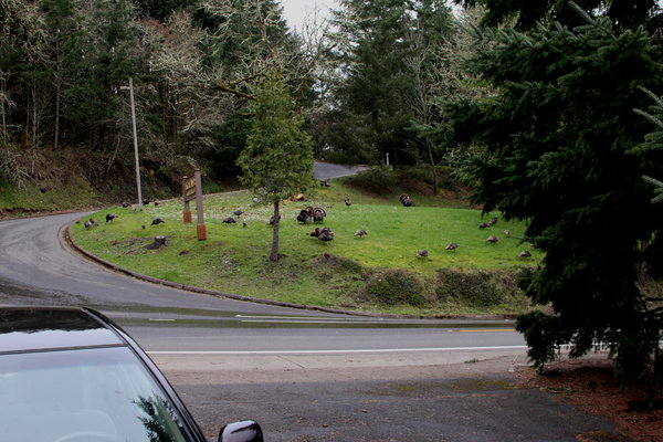 YouNews reporter pagemilk photo of turkeys on South Willamette Street