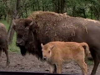 Wildlife Safari welcomes bison babies