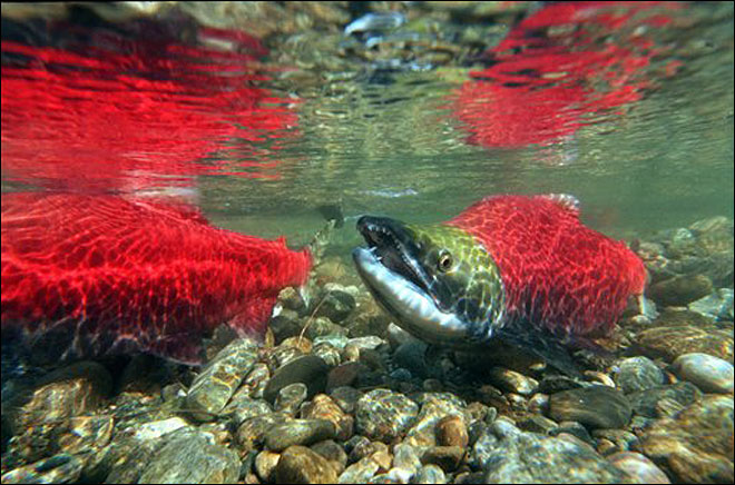 Study: Magnetism helps salmon find home river
