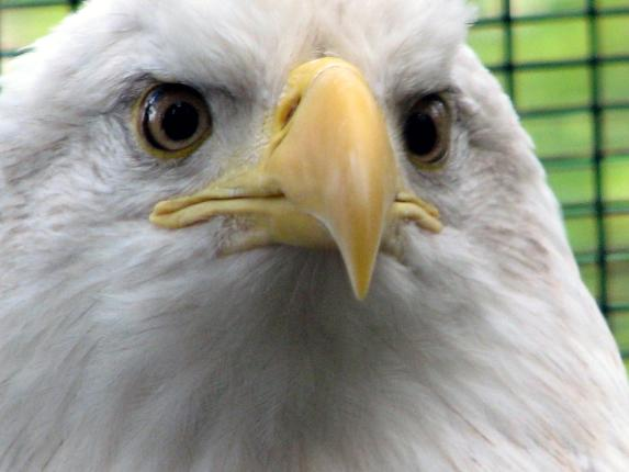 sjhunnicuttmsn_eagle_raptorcenter