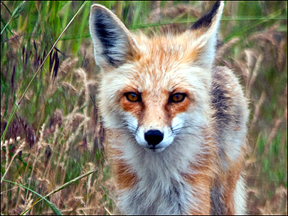 New cases of rabies confirmed in Oregon foxes