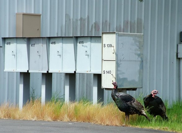 streamwalker photo of wild turkeys in Eugene