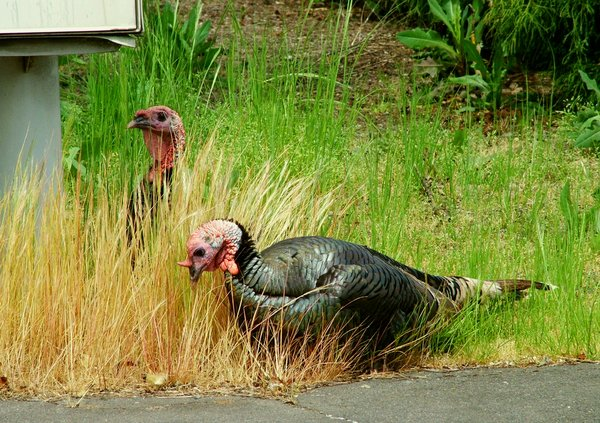 streamwalker photo of wild turkeys in town in April