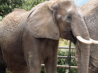 Oregon's Wildlife Safari family mourns Tiki the elephant