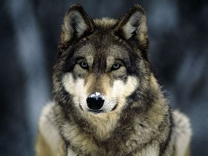 Idaho won't enforce Endangered Species Act for wolves